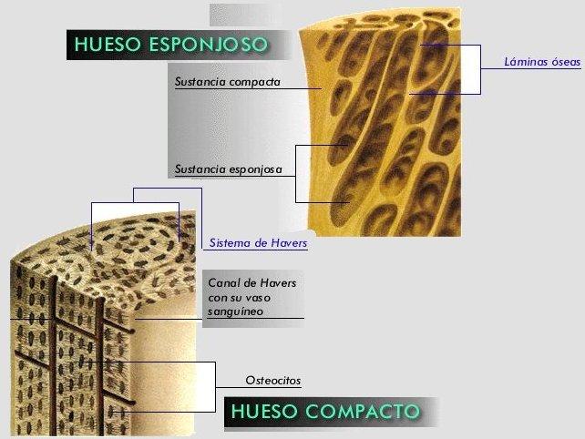 CUERPO (TIPOS DE HUESOS)