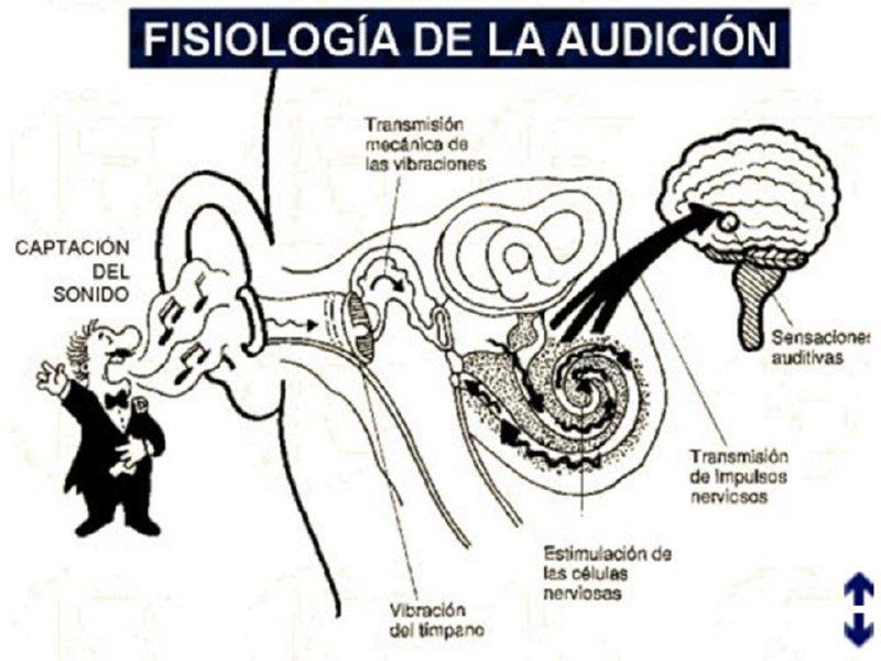 Asombroso Anatomía Y Fisiología De La Audición Patrón - Anatomía de ...