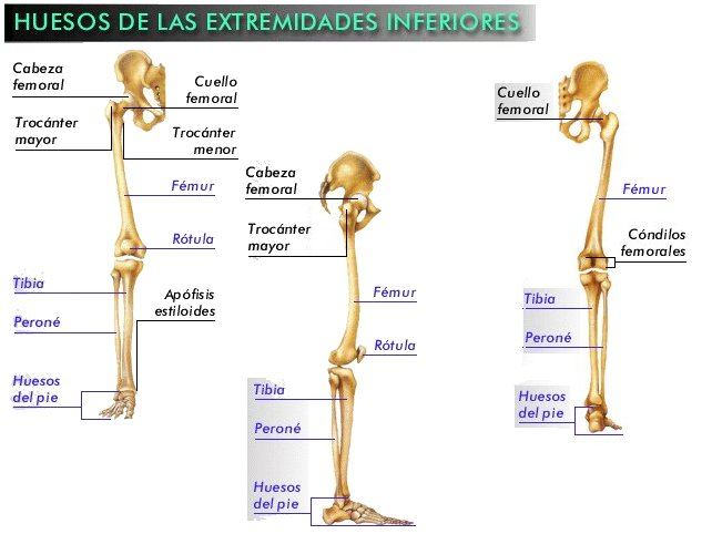 CUERPO (HUESOS DE LAS EXTREMIDADES)