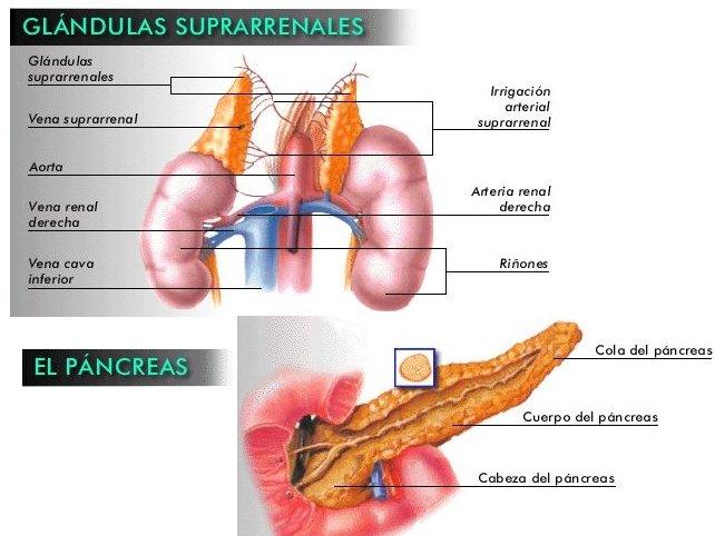 CUERPO (GLANDULAS SUPRARRENALES Y PANCREAS)